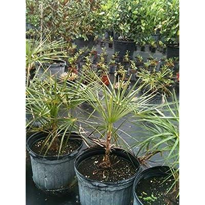 Coccothrinax argentata, Florida Silver Palm - 7 Gallon Live Plant : Garden & Outdoor