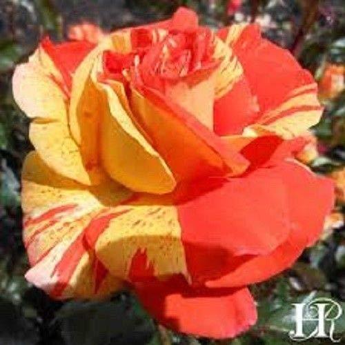 Go Garden 20+ Oranges and Lemons Rose Bush Seeds Very Fragrant USA Seller Ships Free
