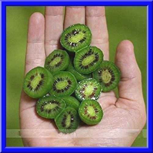 Kiwiberry Mini Kiwi Seeds NO Fuzz -Super Sweet Mini