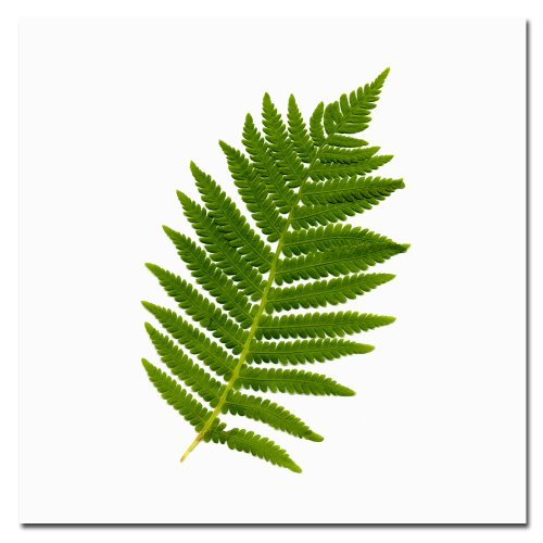 Simple Fern by Kathie McCurdy, 24x24-Inch Canvas Wall Art