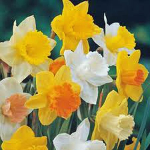 Daffodil, Bulb (5 Pack), Trumpet Mix, Perennial Daffodils, Bulbs, Stunning Bright Flowers by Country Creek Acres