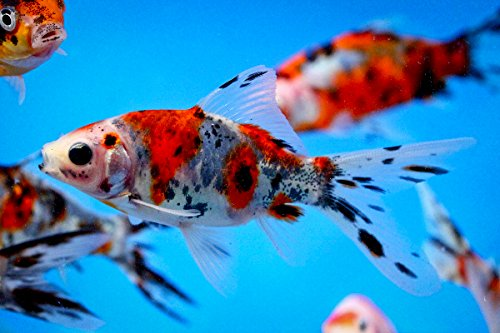 Chalily Live Goldfish - 20 Live 3-4 inch Shubunkin Goldfish for Pond or Aquarium by Chalily