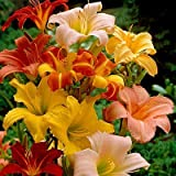 Perennial Daylily Mix - 6 Bare Roots Perennial