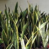 1 Laurentii Snake Live Plant Sanseveria Impossible to Kill Growing in 4'' Pot