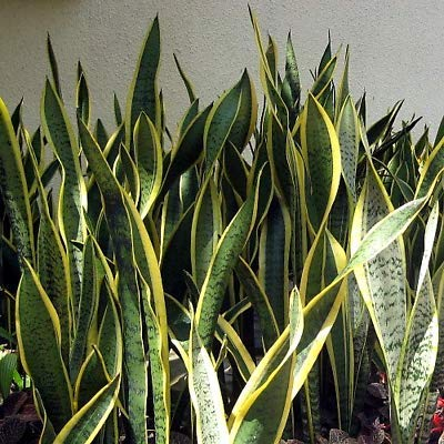 1 Laurentii Snake Live Plant Sanseveria Impossible to Kill Growing in 4'' Pot by Gray (Image #1)