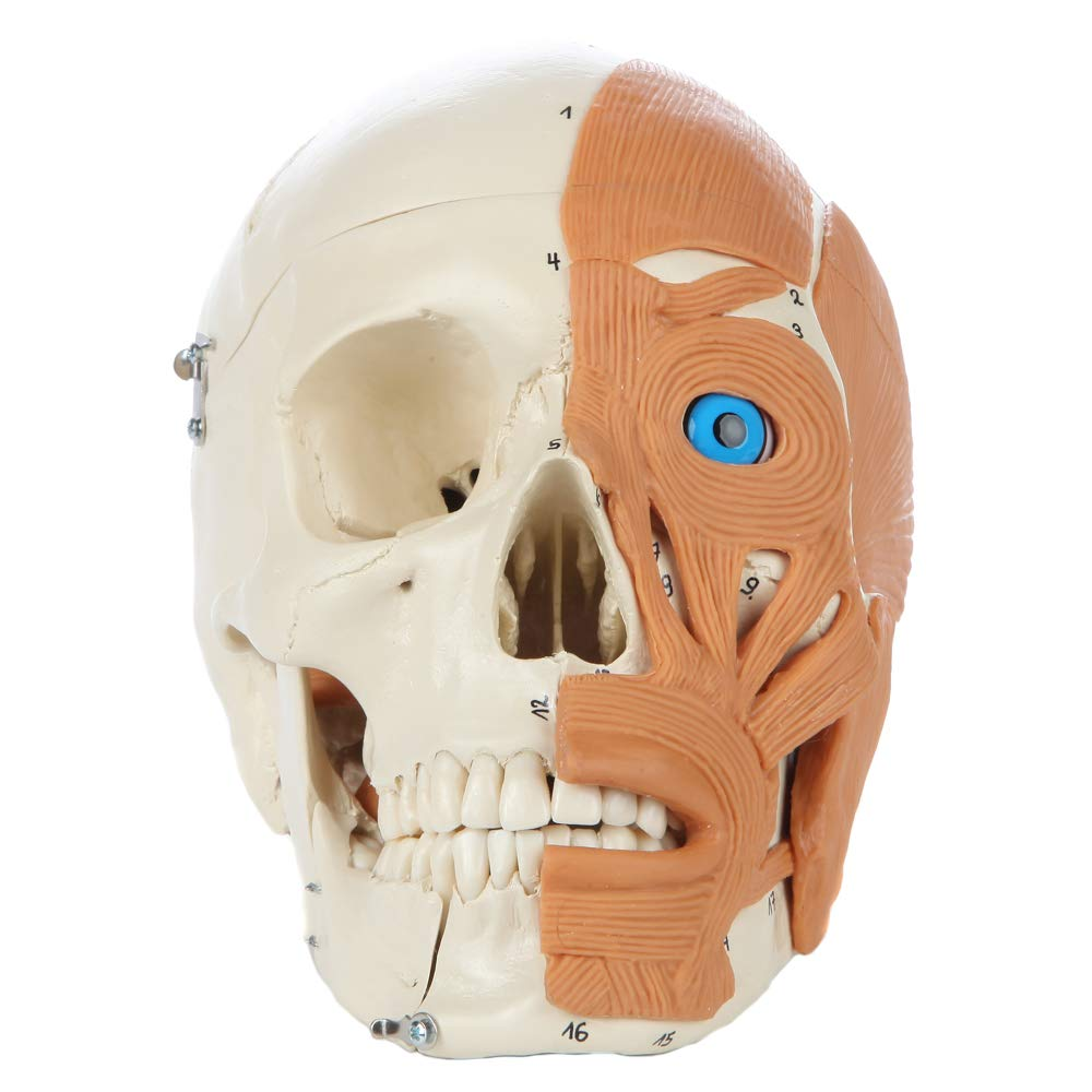 Image of Examination Supplies & Consumables Rudiger Anatomie 4-Part Human Skull with Facial Musculature