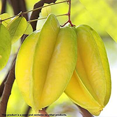 ZEROYOYO 50 Pcs Heirloom Organic Thai Star Fruit Tree Shrub Seeds Juicy Carambola Tree Seed High Germination : Garden & Outdoor