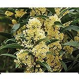 Fudingzhu Fragrant Tea Olive (osmanthus) - Live Plant - 3 inch Pot