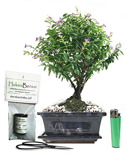 cu15+G Japanese Myrtle Cuphea hyssopifolia Indoor Bonsai Tree Gift Set