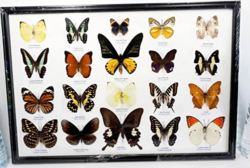 REAL 20 BUTTERFLY COLORFUL MOUNTED DISPLAY FRAME INSECT TAXIDERMY DECORATE IN WOOD FRAME 1
