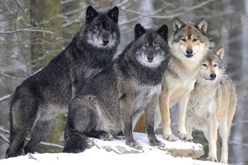 Pack Winter Wolf Art Print on Canvas,Wall Decor Poster 20x30 inches