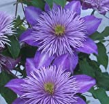 CLEMATIS 'CRYSTAL FOUNTAIN'. Perennial. Plant. Vine.