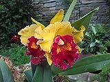Brassolaeliocattleya: Orchid
