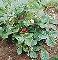 David's Garden Seeds Fruit Strawberry Alexandria D697A (Red) 500 Open Pollinated Seeds
