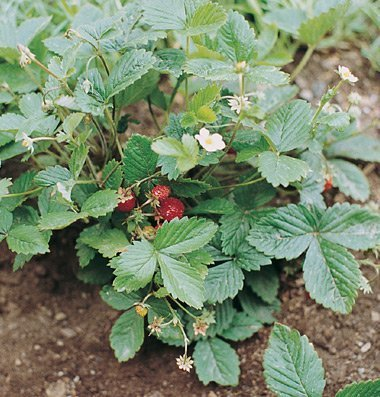 David's Garden Seeds Fruit Strawberry Alexandria D697A (Red) 500 Open Pollinated Seeds