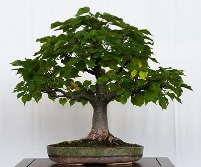 15 Seeds Little-leaf Linden Tree (Tilia cordata)