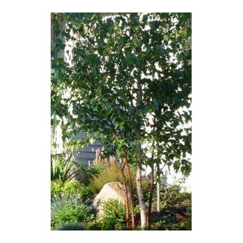 92b5ceb64a2 Amazon.com   10 Paper Birch (Betula papyrifera) 1-2    Birch Trees ...