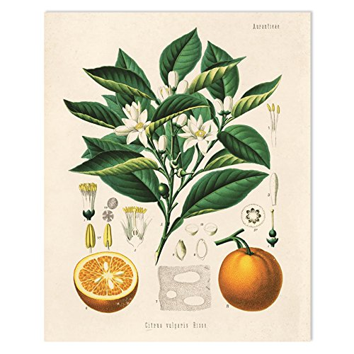 Amazon 16 X 20 Vintage Botanical Orange Tree And Fruit
