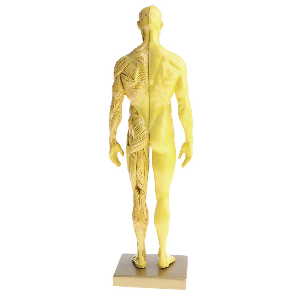 Buy Street27 11 Inch Male Anatomy Figure Model Anatomical Reference