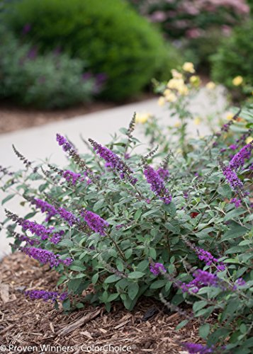 1 Gal. Lo & Behold 'Blue Chip Jr.' Butterfly Bush (Buddleia) Live Shrub, Blue-Purple Flowers by Proven Winners (Image #6)
