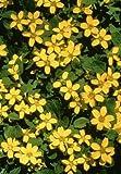 Classy Groundcovers - Chrysogonum virginianum 'Pierre' {25 Pots - 3 1/2 in.}