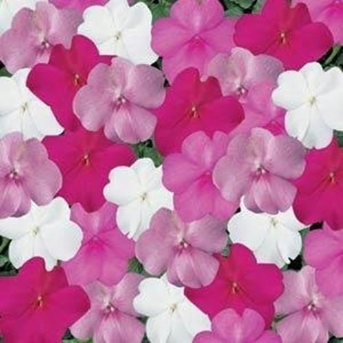 Outsidepride Impatiens Seaside Mix Flower Seeds - 200 (Seaside Mix)