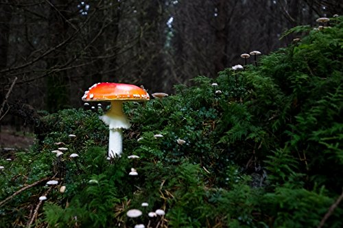 LAMINATED POSTER Leaves Mushroom Forest Fly Agaric Autumn Poster - Fly Agaric Mushroom