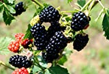 "(1 gallon) Blackberry""APACHE"" - Huge Sweet,Thornless-ERECT Variety, Large. High Yeilding Juicy, Jumbo Berries"