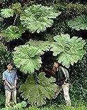 Dinosaur Gunnera 20 Seeds - Worlds Largest Perennial