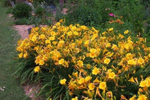 25 Bareroot Hemerocallis Stella D'oros Daylilies--2-3 Fan - Stella Doro Daylily