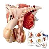 Male Genital Organ Model, Life Size 5-Parts, Median
