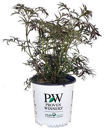 (Proven Winners - Sambucus nigra Black Lace (Elderberry) Shrub, , #2 - Size Container)