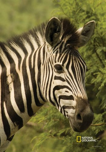 national-geographic-by-new-creative-zebra-large-impressions-flag