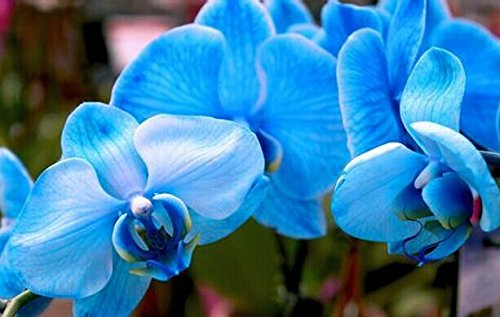 100pcs-orchid-seed-flower-seeds-for-home-garden-phalaenopsis-orchid-seeds-buy-direct-from-china-orqu