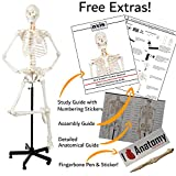 Axis Scientific Human Skeleton Anatomy Model, 5' 6' Life Size Male Skeletal System, Anatomically Correct Medical Model | Includes Detailed Study Guide, 3 Year Inclusive Warranty, Stand, Dust Cover