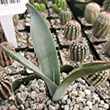 Planet Desert Agave tequilana
