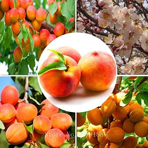 Shoopy Star 5 Pedazos/la Bolsa ALBARICOQUERO Semillas Semillas Bonsai Fruta de Alta tasa de Supervivencia para el hogar G