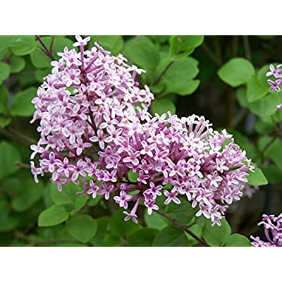 1 Dwarf Korean Lilac - 4