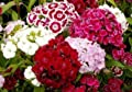 Todd's Seeds Dianthus, Sweet William, Double Mix Seeds - 1g Flower Seed Packets - Red Flowers, White Flowers, Pink Flowers - 1,000 Seeds Per Seed Packet