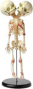 Baby Skeleton Model, Human Skeleton Anatomical Model - 2-Headed Plastic Skeleton, for Best Halloween Decoration