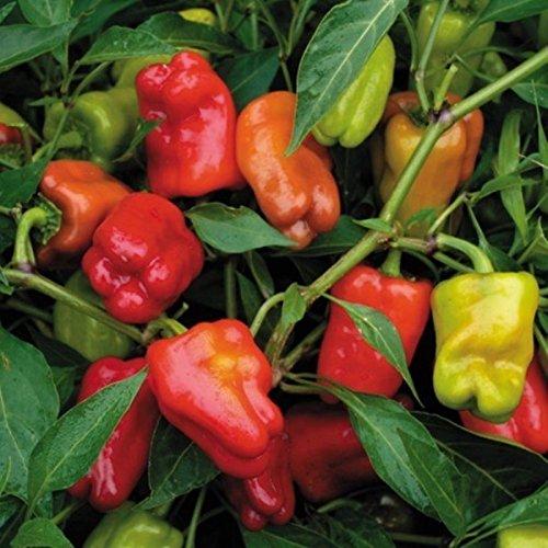 Cajun Belle F1 Pepper Aas Winner 20 Seeds Not Too Hot