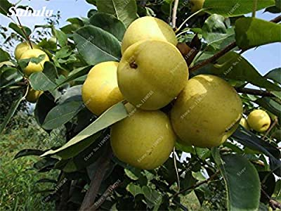 5 Pcs Pears Seed Chinese Organic Fruit Seed Super Big Sweet Juicy Fleshy Honey-Dew Easy To Grow Tree Bonsai For Home Garden
