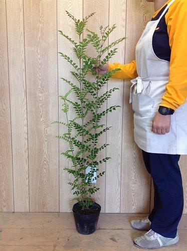 【ノーブランド品】シマトネリコ樹高0.8m前後15~18cmポット【8本セット】 B00W4VY3FQ