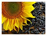 """""""Black Oil"""" Sunflower Garden Seeds, 150+ Premium Heirloom Seeds, ON SALE!, For Growing Sunflower Flowers, Sprouting, (Isla's Garden Seeds), 80% Germination, Non Gmo"""