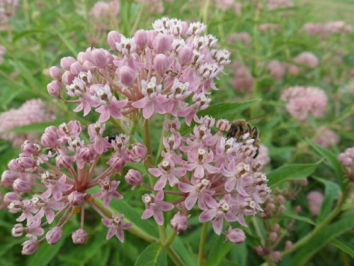 swamp-milkweed-asclepias-incarnata-150-certified-pure-live-seed-true-native-seed