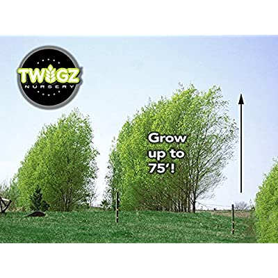 50 Hybrid Willow Trees. Austree grows 12 foot 1st year. Fastest growing tree. Rapid growth : Garden & Outdoor