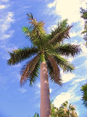 Roystonea Regia, CUBAN ROYAL PALM tree ornamental palms home plant seed 25 seeds