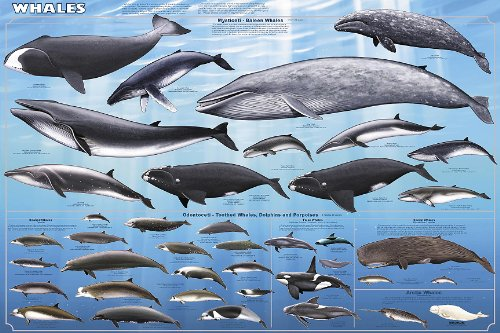 Feenixx Publishing Whales - Laminated -