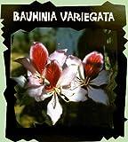 Variegated Purple Orchid Tree 5 Seed-Bauhinia variegata
