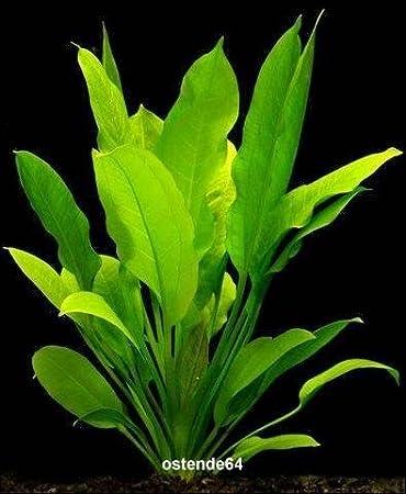 Wfw Wasserflora Grosse Amazonas Schwertpflanze Echinodorus Bleheri